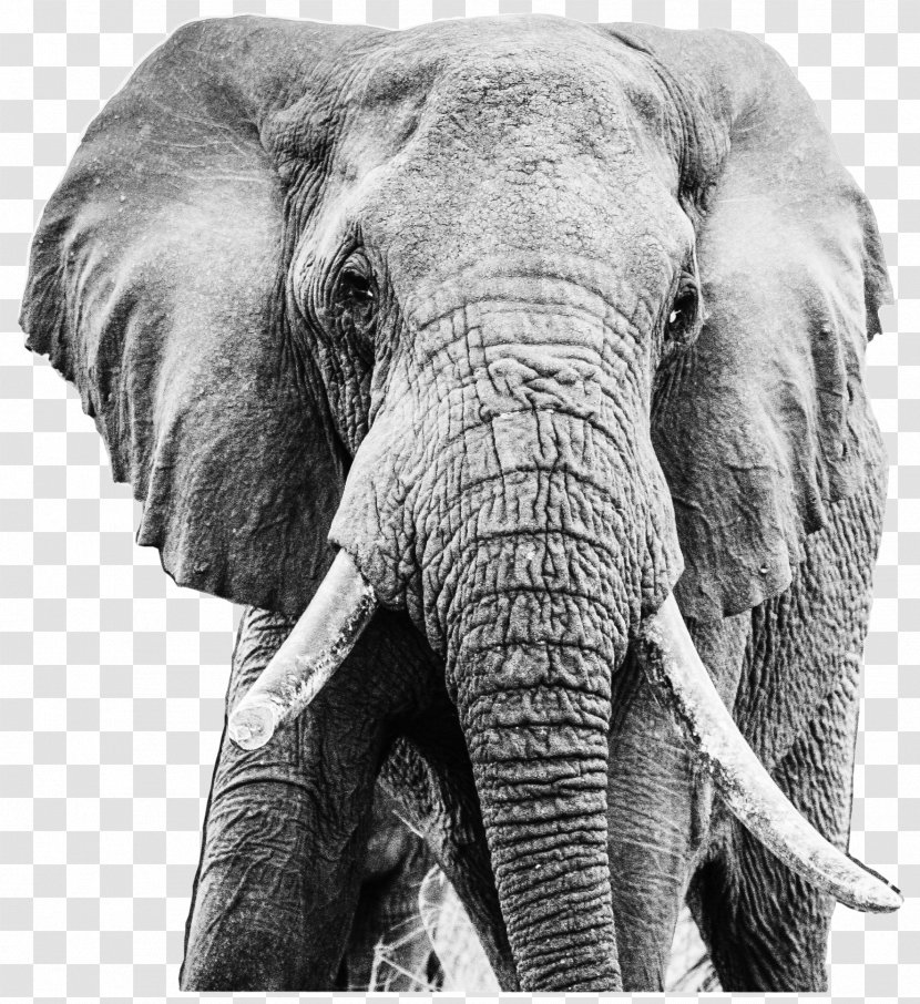 Indian Elephant African Tusk Tsavo Ruby Transparent Png 16,000+ vectors, stock photos & psd files. pnghut