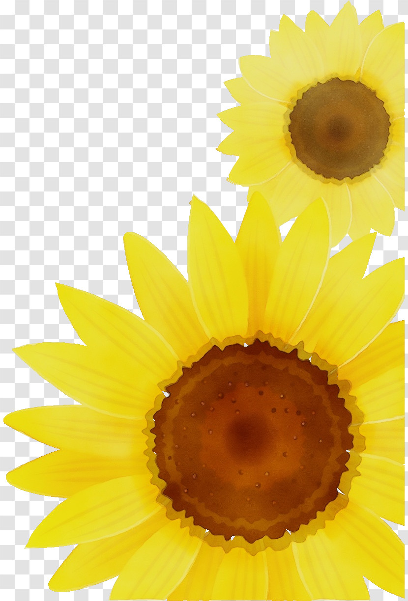 Sunflower Transparent PNG