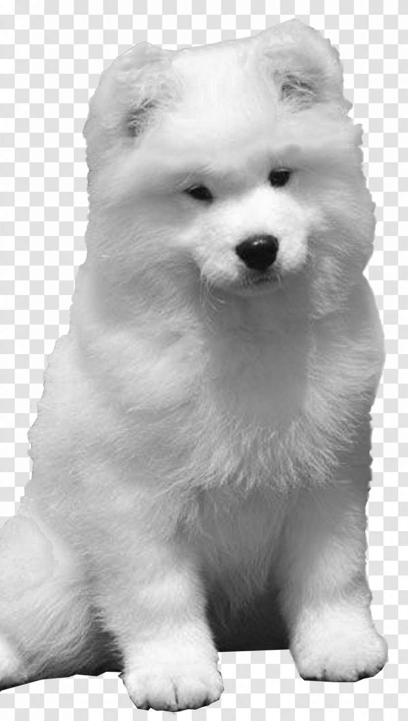 Samoyed Dog American Eskimo Siberian Husky Pomeranian Puppy Sakhalin Transparent Png