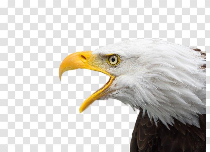 Bald Eagle Bird Of Prey Desktop Wallpaper Beak Transparent Png