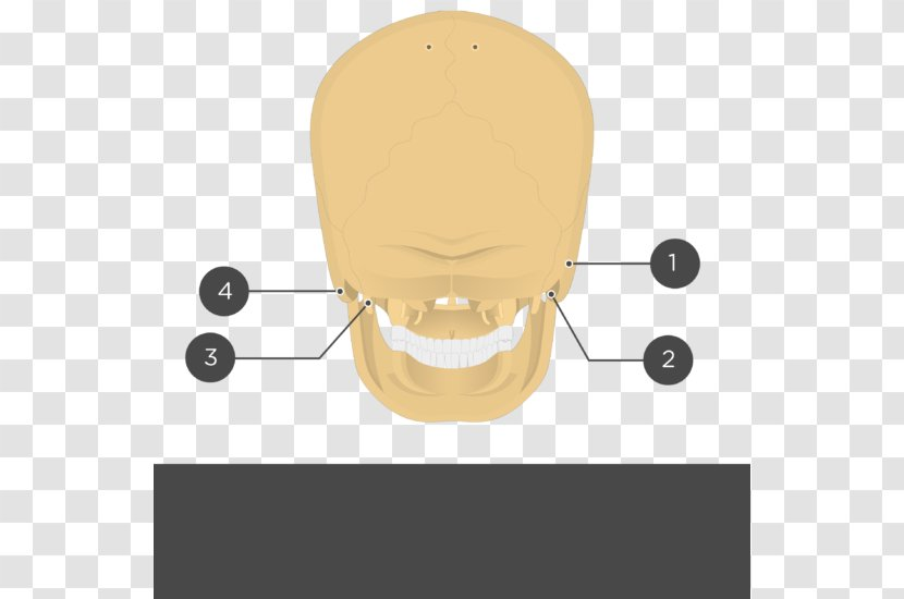 Bubble Lamp Clock Stylomastoid Foramen Temporal Bone Neck Design Transparent Png Between the stylomastoid foramen, and the parotid gland, three more motor branches are given off: bubble lamp clock stylomastoid foramen