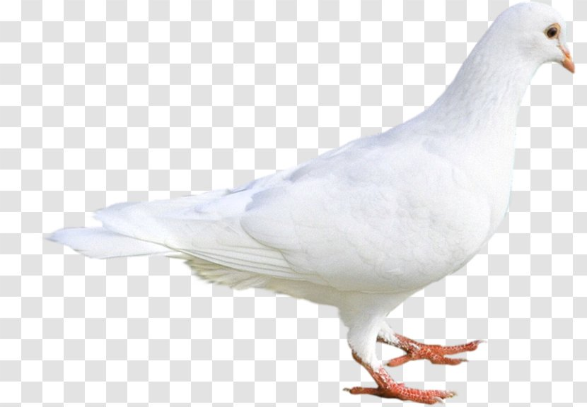 Stock Dove Columbidae Colombes White Island Pigeon Clipart Transparent Png