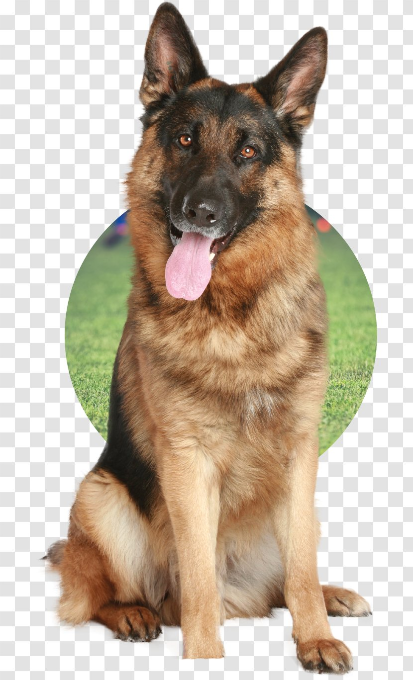 German Shepherd Puppy Pet Sitting Labrador Retriever Dog Daycare Old Transparent Png