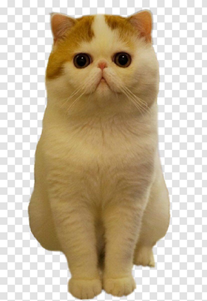 Exotic Shorthair Persian Cat American British Kitten Tabby Park Transparent Png