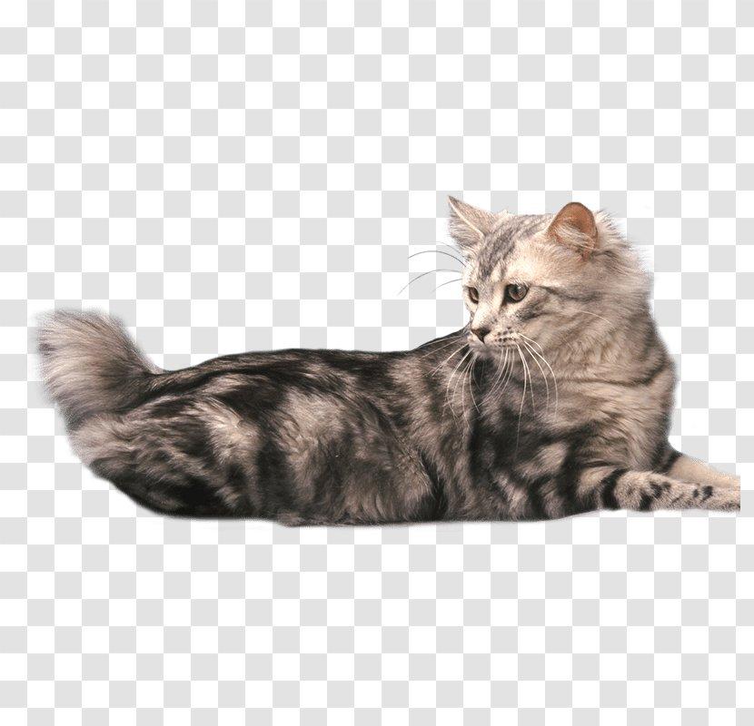American Bobtail Japanese British Shorthair Manx Cat Kurilian - Mammal - Kitten Transparent PNG