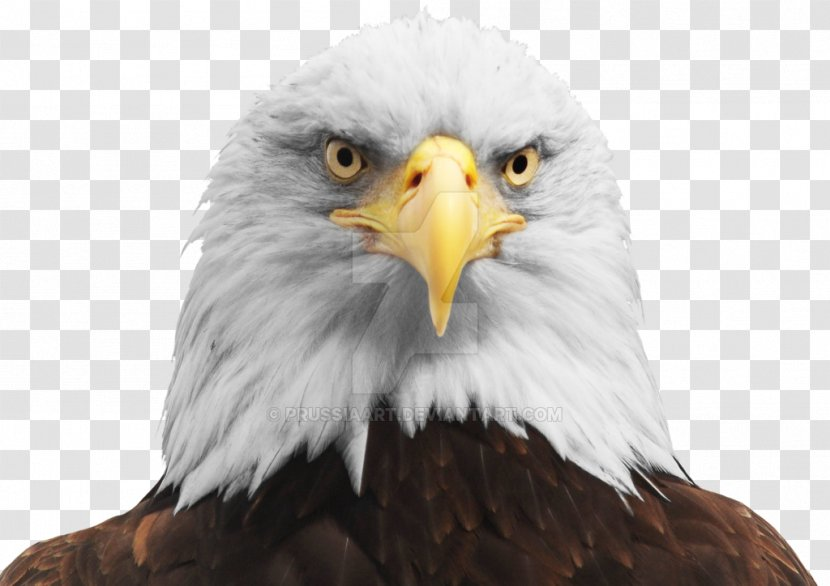 Bald Eagle Bird Accipitriformes Transparent Png