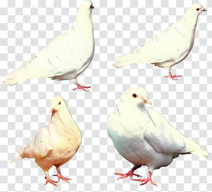 Dove Bird - Chicken - Feather Drawing Transparent PNG