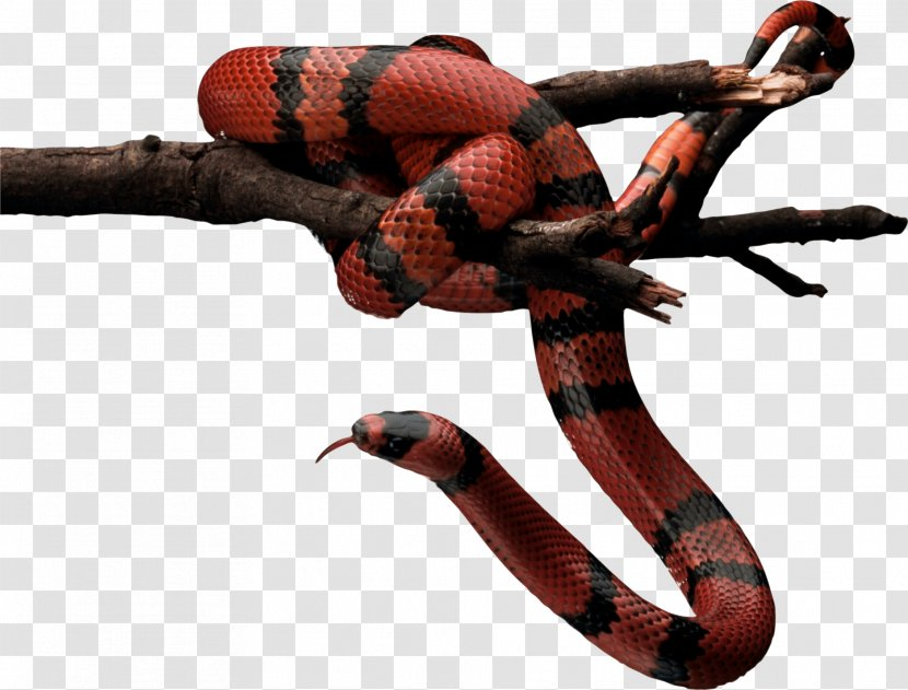 Snake Reptile Animal - Red Image Picture Download Free Transparent PNG