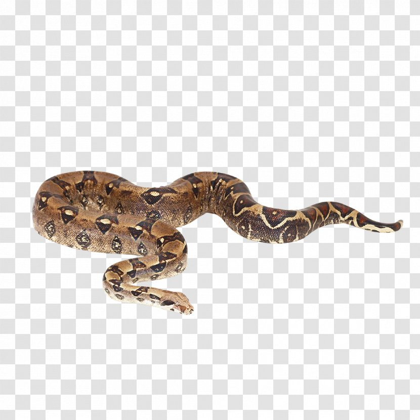 Snake Reptile Boa Constrictor Imperator Reticulated Python Boas - Terrestrial Animal Transparent PNG