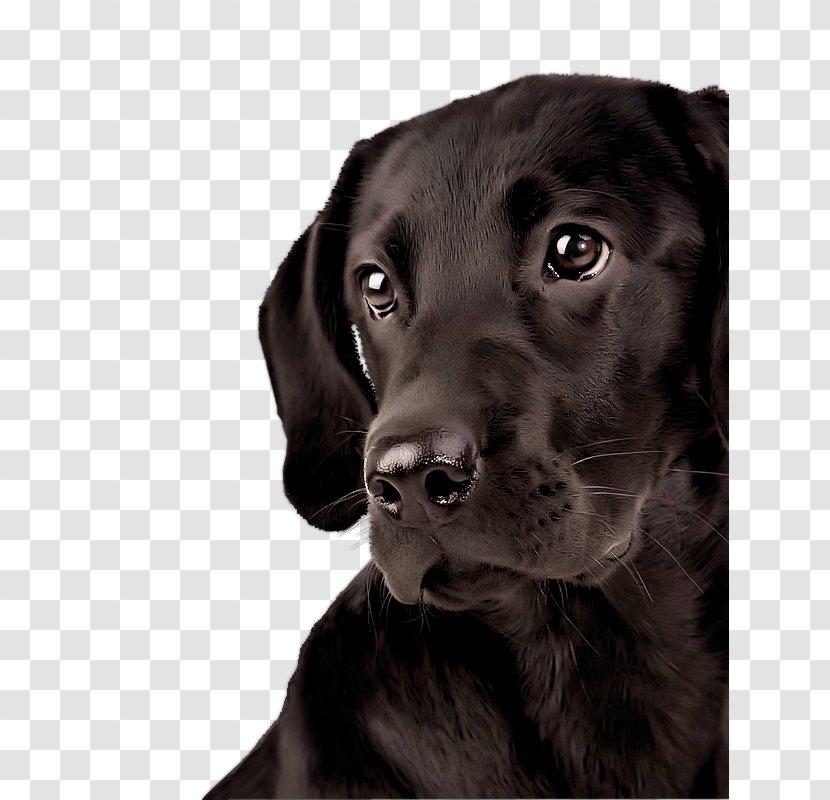 Labrador Retriever Android Desktop Wallpaper Dog Golden Transparent Png