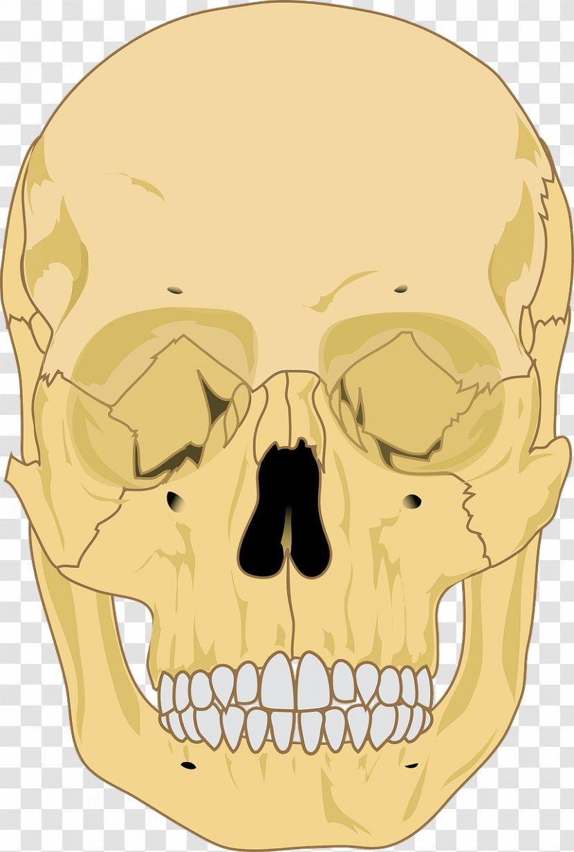 Human Skeleton Skull Anatomy - Head Transparent PNG