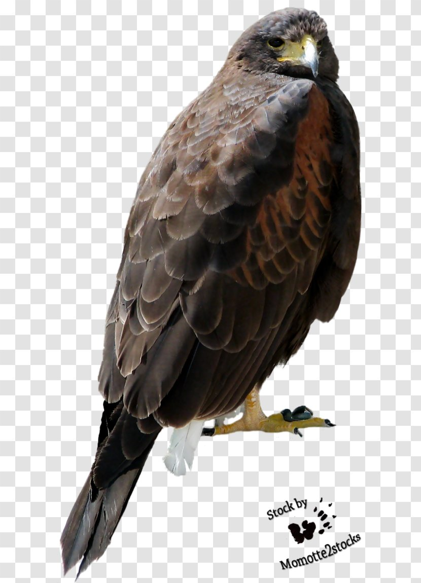 Bird Of Prey Bald Eagle Accipitriformes Golden Hawk Transparent Png