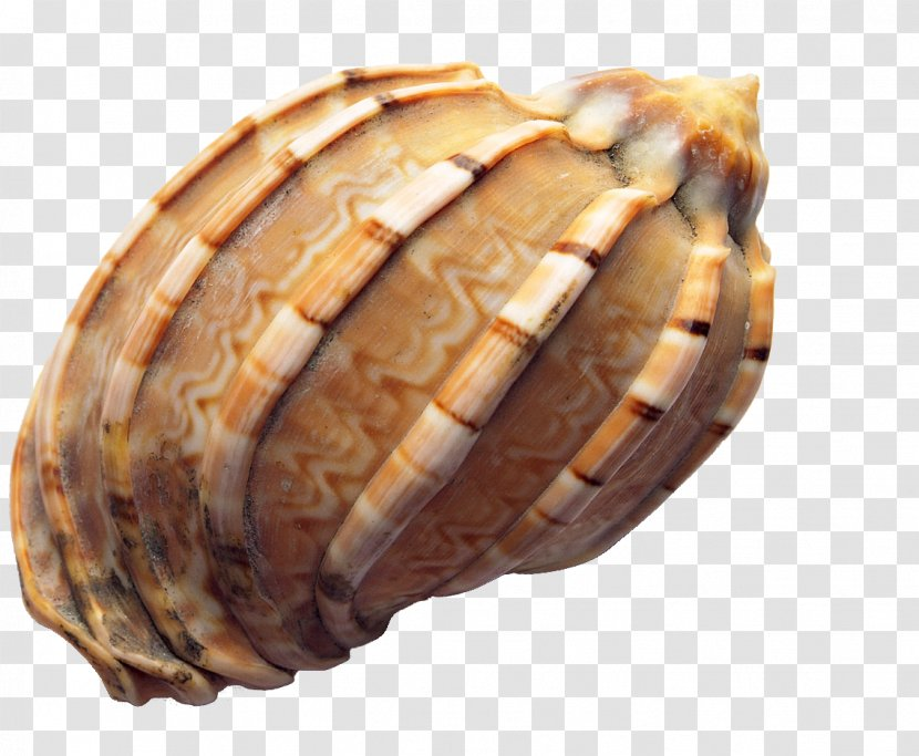 Seashell Icon - Conchology - Conch Transparent PNG