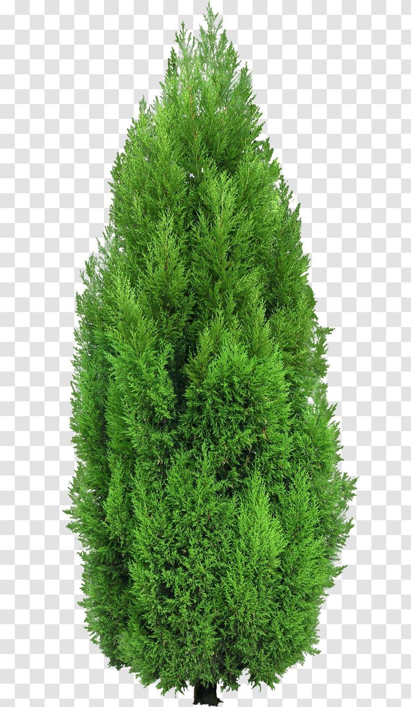 Evergreen Clip Art