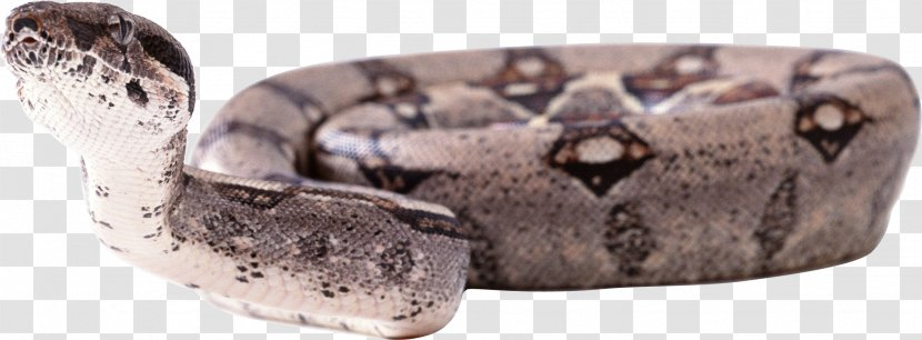 Boa Constrictor Snake Reptile Anaconda Constriction - Scaled Reptiles - Image Picture Download Free Transparent PNG