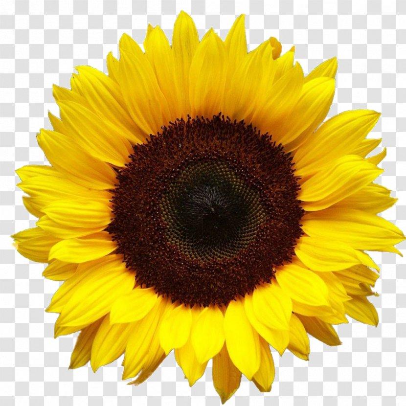 Common Sunflower Desktop Wallpaper Clip Art Yellow Flowers Oil Transparent Png