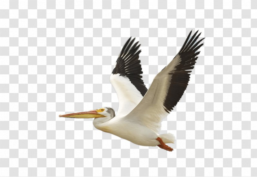 The Birds Of America American White Pelican Brown National Audubon Society - Flying Bird Transparent PNG