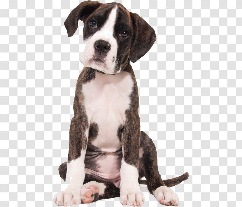 Boxer Puppy English Mastiff Bullmastiff