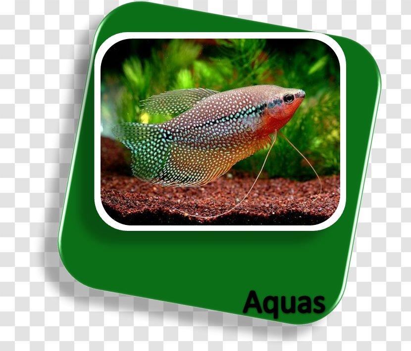 Sagara Aquarium Tropical Fish Aquariums Freshwater Angelfish Transparent Png