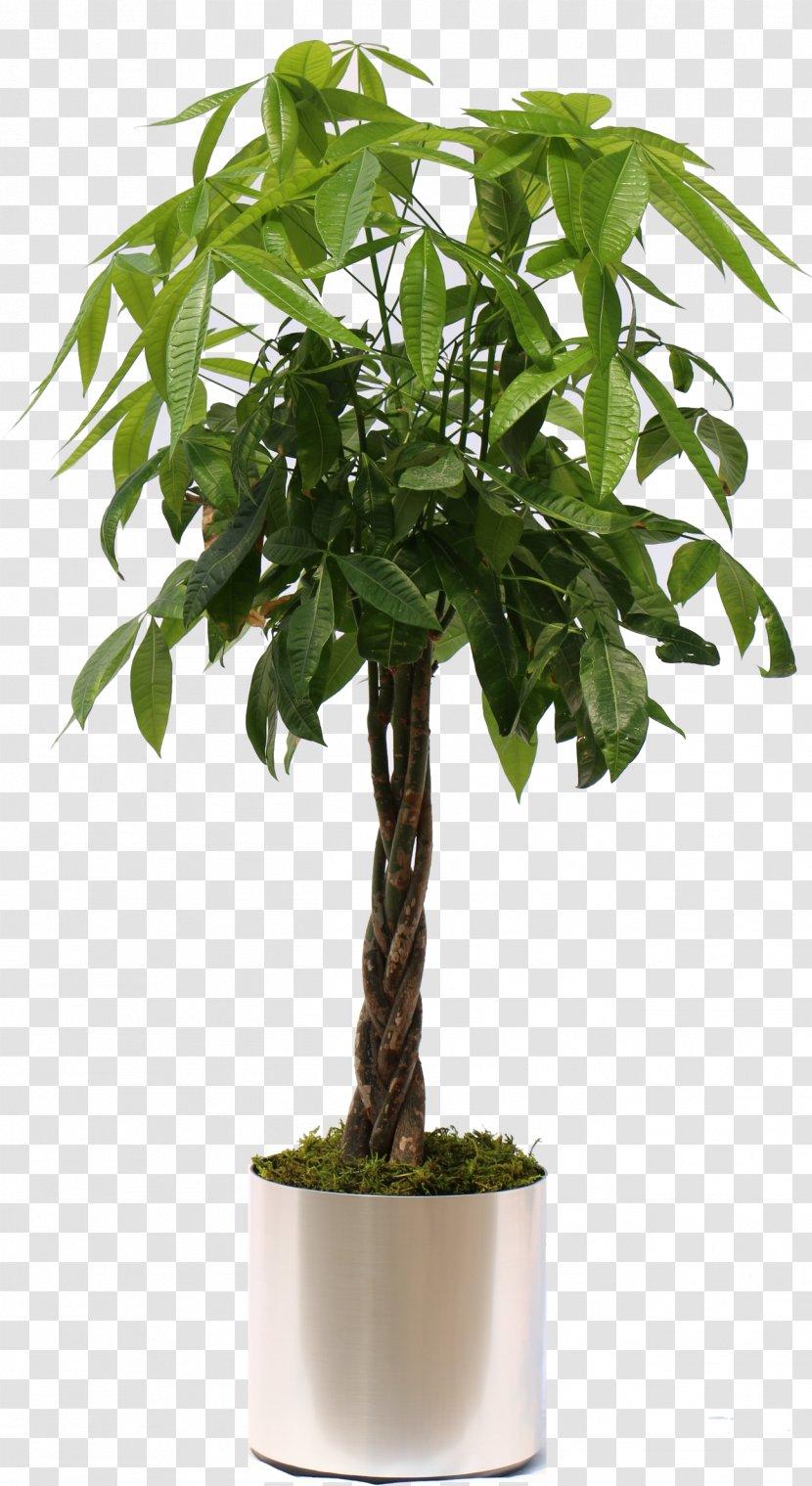 Fiddle Leaf Fig Weeping Guiana Chestnut Houseplant Money Tree Transparent Png