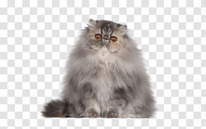 Persian Cat Cornish Rex Singapura Exotic Shorthair Himalayan Domestic Long Haired Kitten Transparent Png