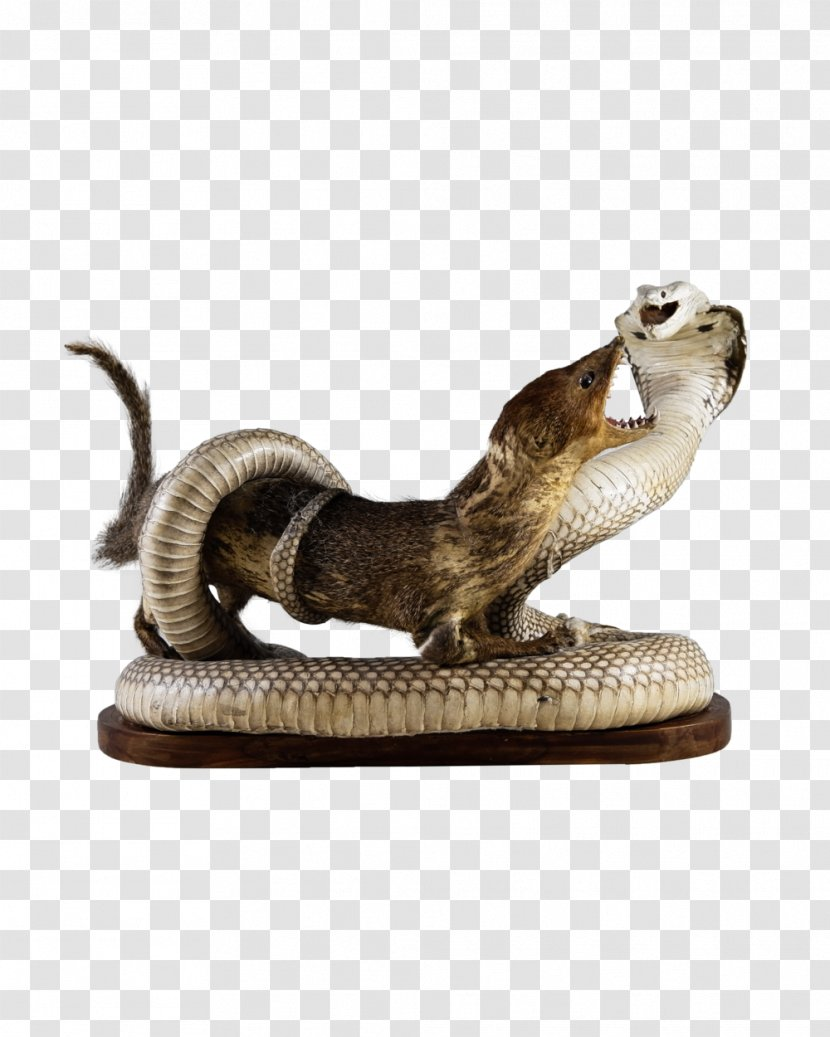 Mongoose Snake Reptile Indian Cobra - Hair Transparent PNG