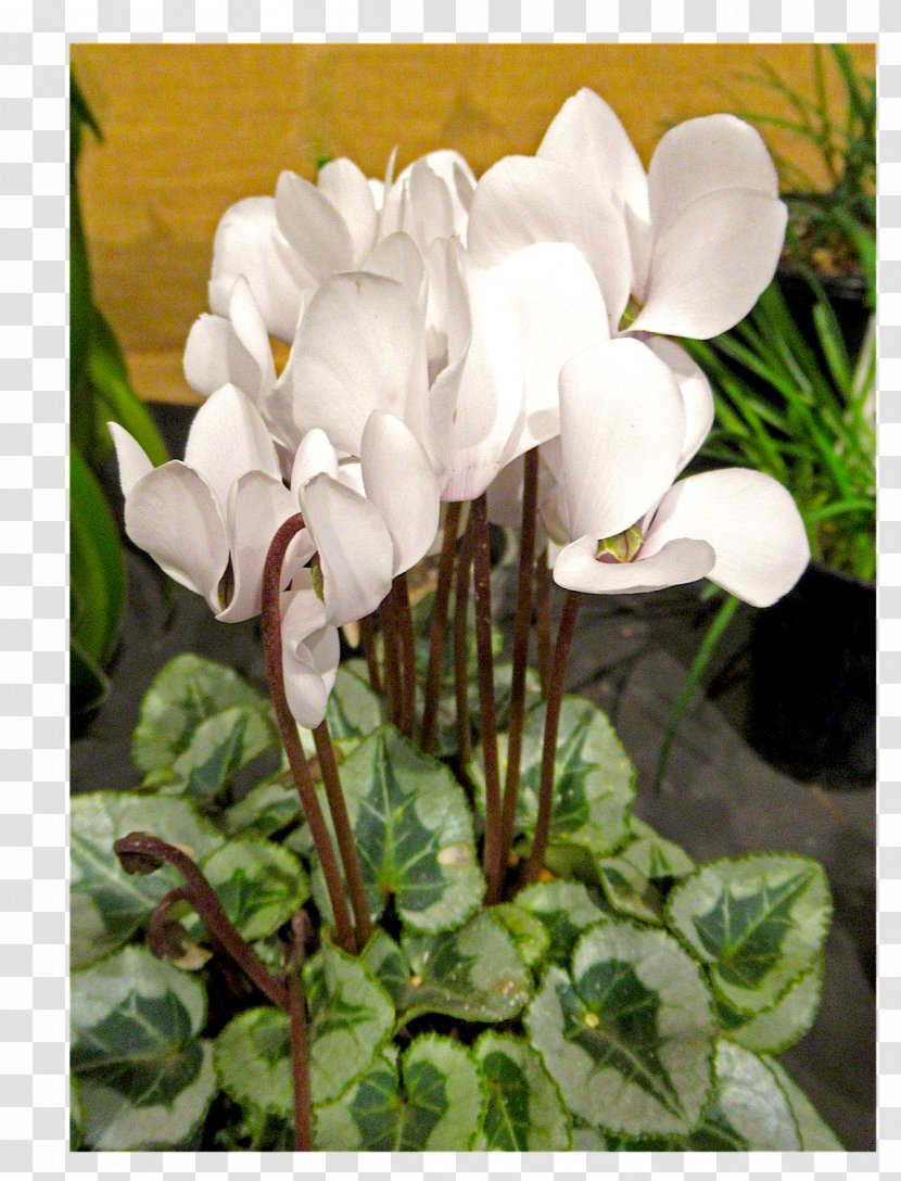 Growing Cyclamen Bulb Plants Seedling Transparent PNG