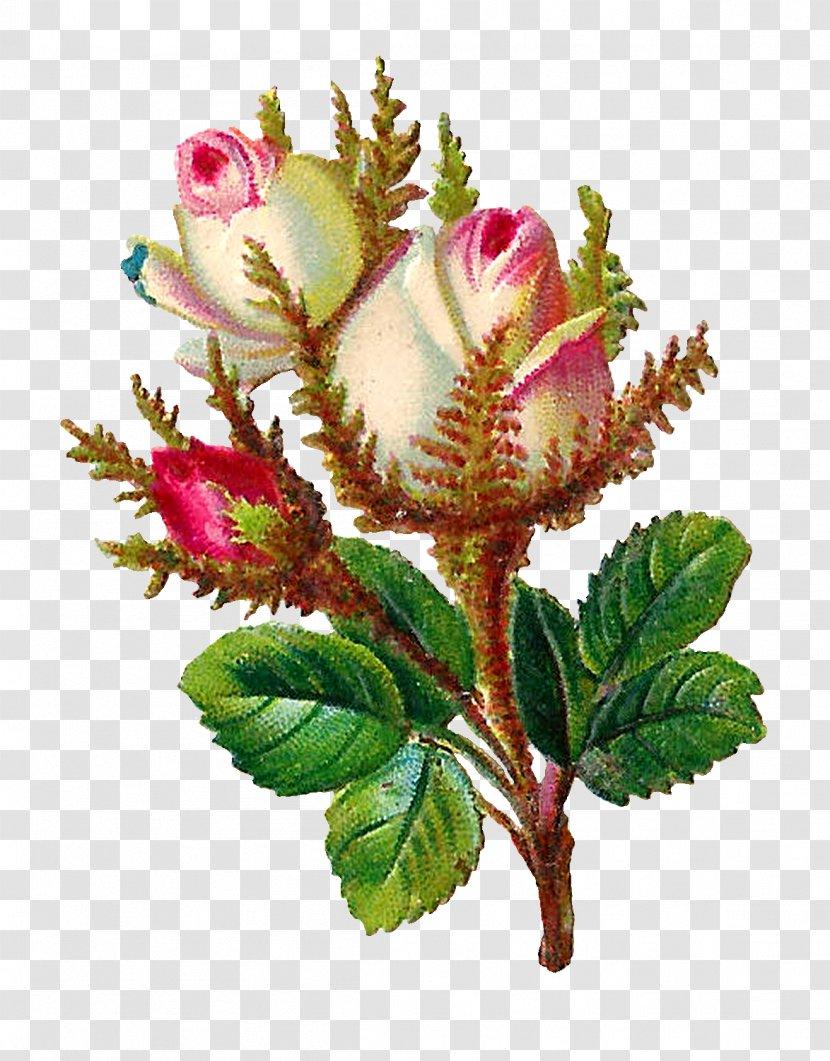 Centifolia Roses Flower Digital Scrapbooking Clip Art - Flowerpot - Botanical Flowers Transparent PNG
