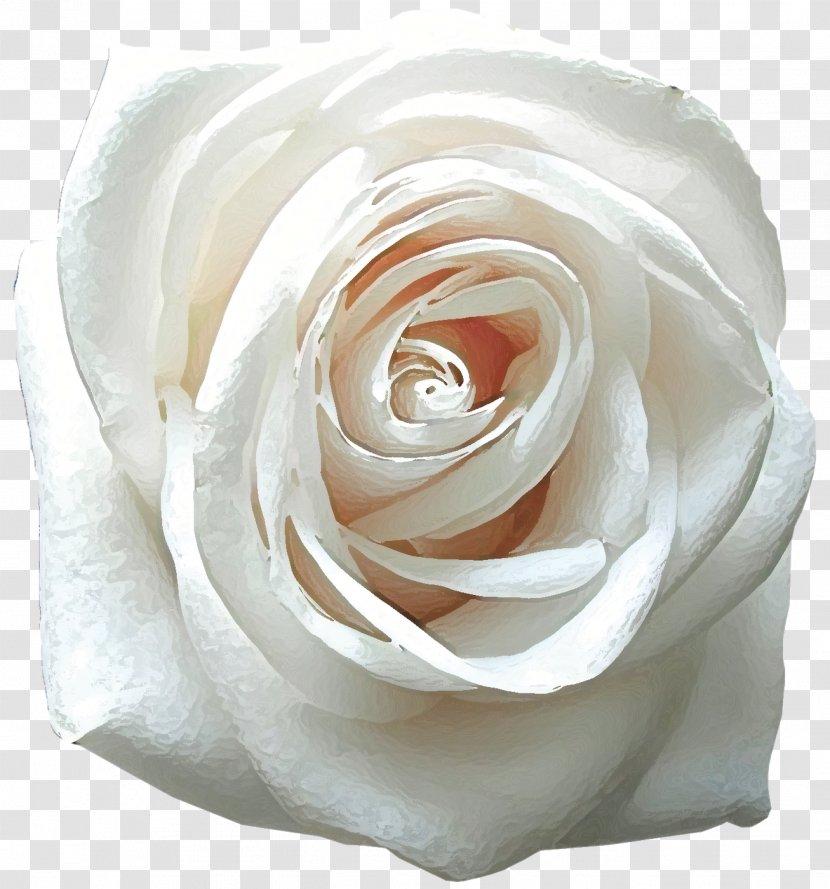 Rose Desktop Wallpaper Flower White Mobile Phones 4k Resolution Roses Transparent Png