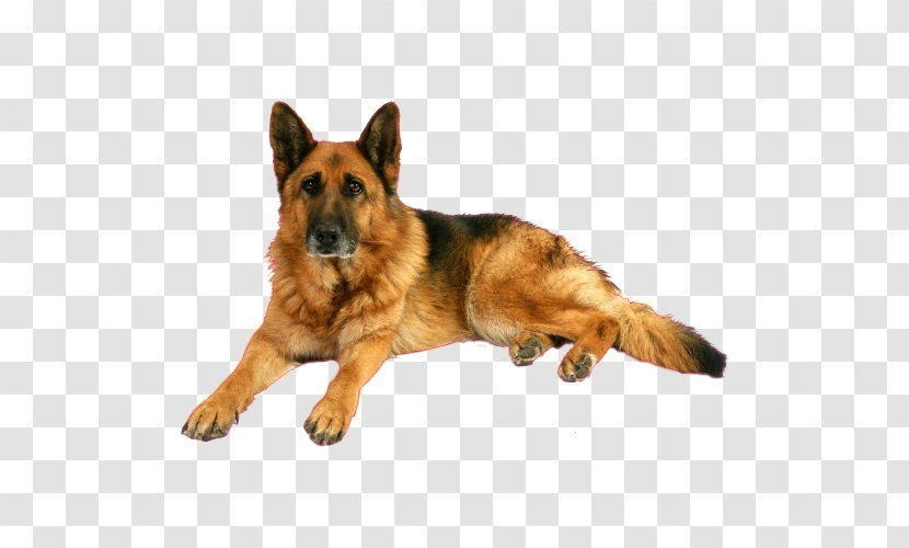 Old German Shepherd Dog King Kunming Wolfdog Breed Toiletteur Cat Transparent Png This dog breed was first discovered by being the canine component of the police force in china. old german shepherd dog king kunming