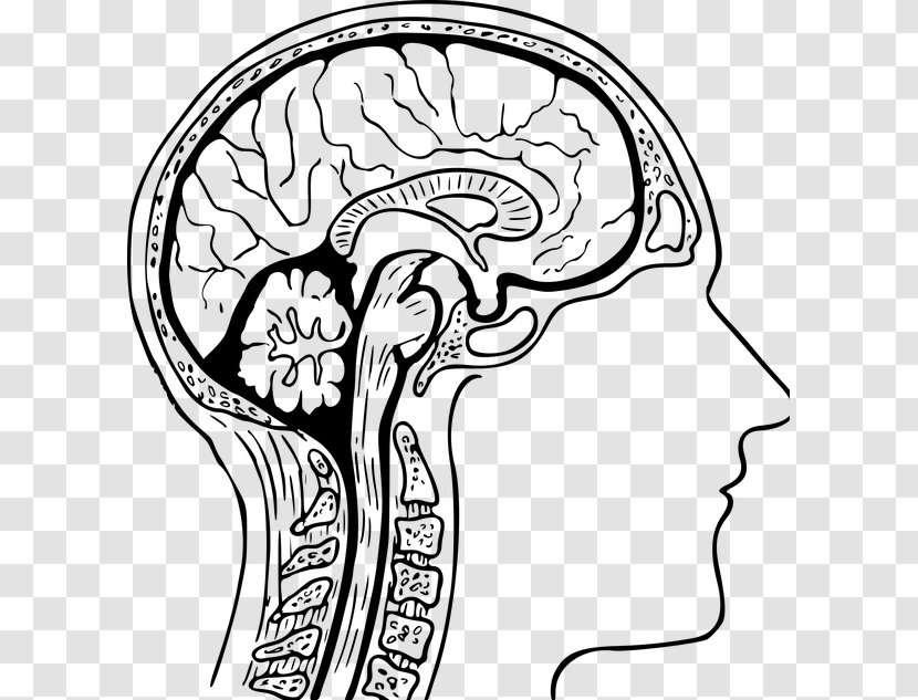 - The Human Brain Coloring Book Anatomy Head Clip Art - Silhouette  Transparent PNG