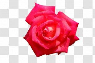 Garden Roses Cut Flowers Petal Magenta Rose Transparent Png